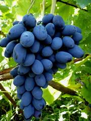 Виноградарство как бизнес