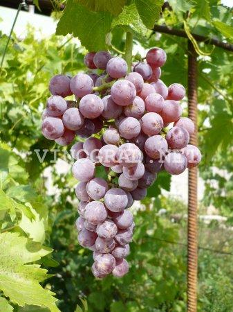 когда цветет виноград в волгограде
